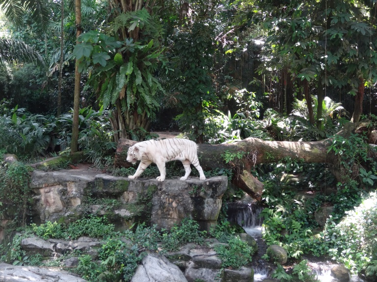 White Tiger Singapore Zoo
