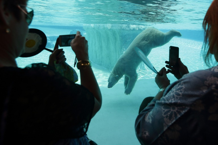 Polar Bear Singapore Zoo
