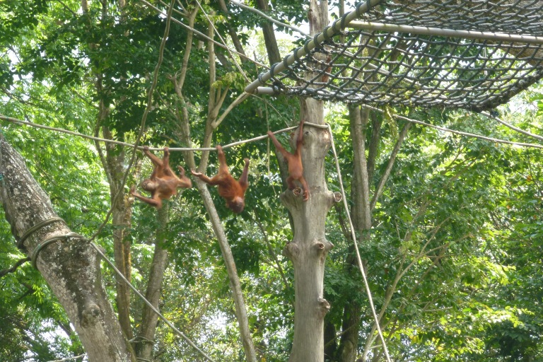 Free-ranging orangutans at Singapore Zoo