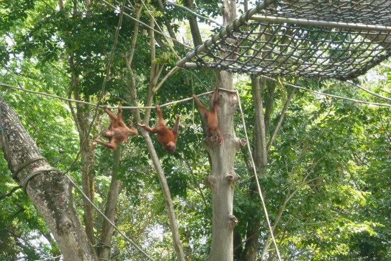 Free-ranging orangutans at Singapore Zoo