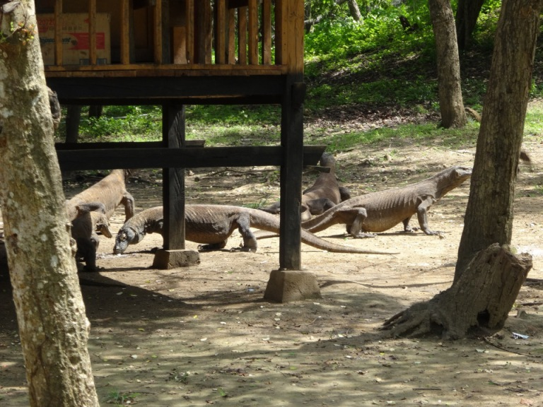 Komodo Dragons can be found on the islands west of Flores
