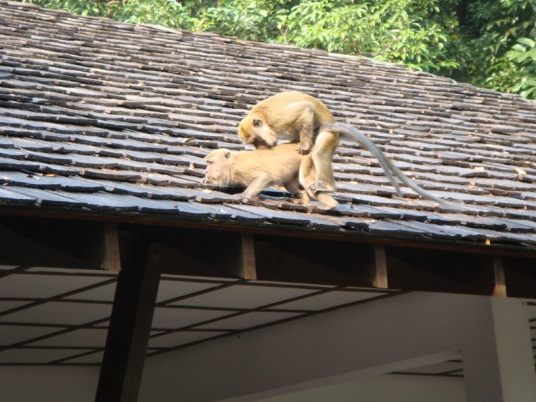 monkeys having sex