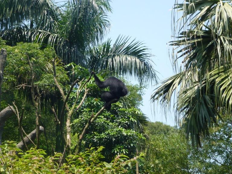 A noisy chimpanzee!