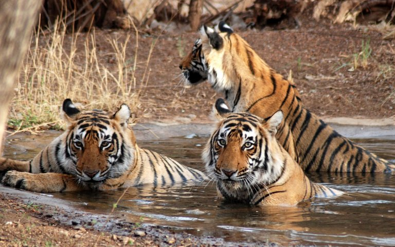 Bengal Tigers in the Sundarbans swampland