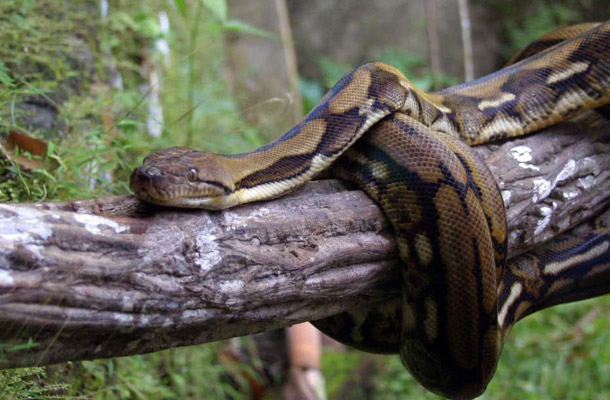Bukit Timah Nature Reserve is a natural habitat for the reticulated python