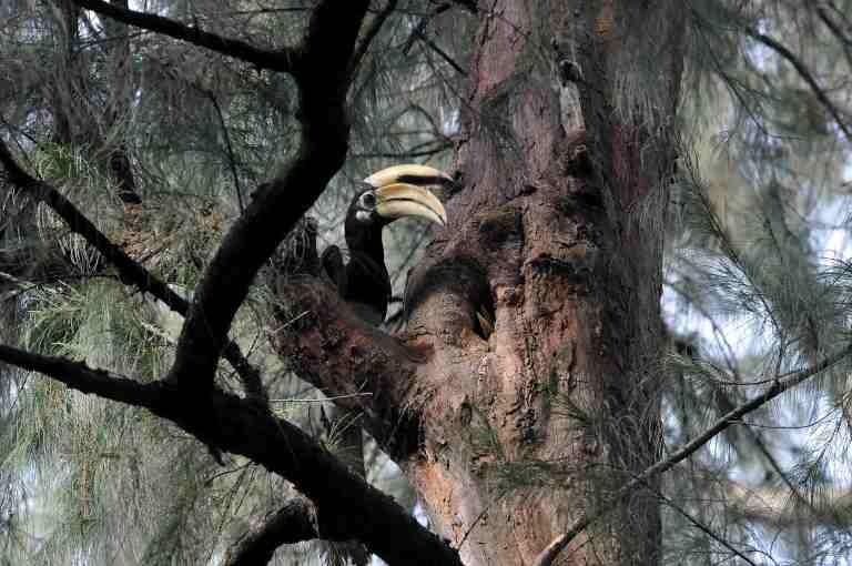 Oriental Hornbill (photo: Nparks.gov.sg)