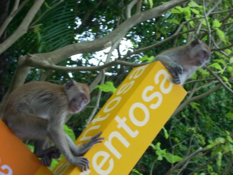 Monkeys run riot on Sentosa Island!