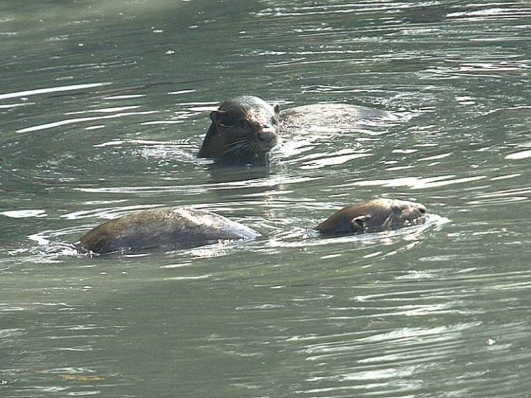 Otters in the Bedok Canal