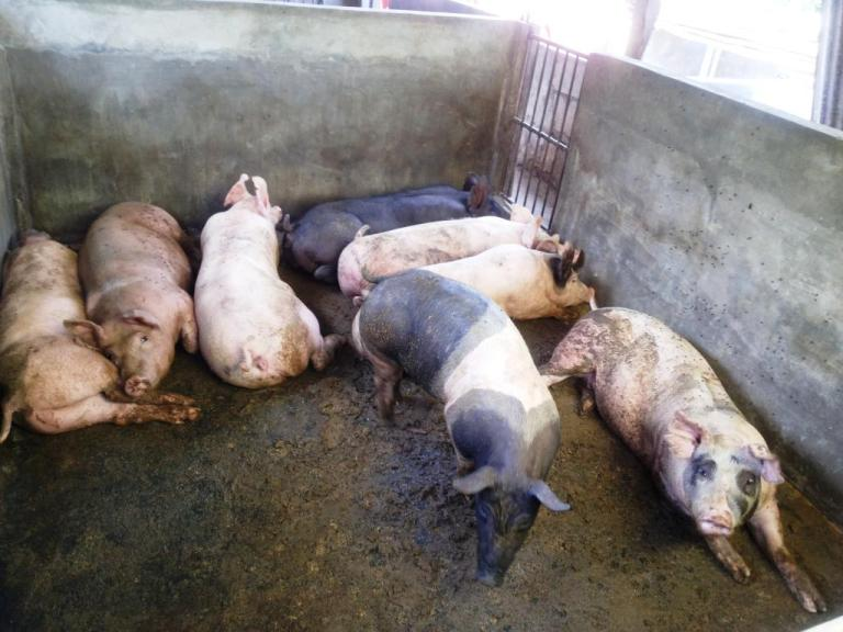 Part of a typical piggery in rural Philippines
