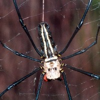How can spiders GROW SO BIG in Taiwan?
