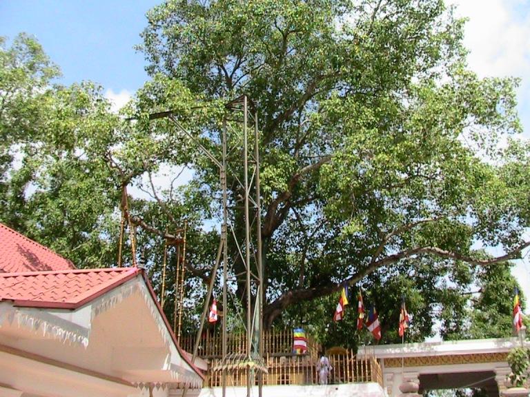 The Giant Bodhi Tree