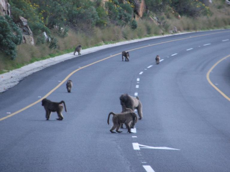baboon4