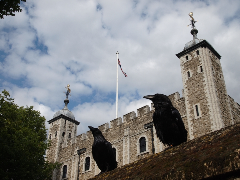 Resident ravens at the Tower of London