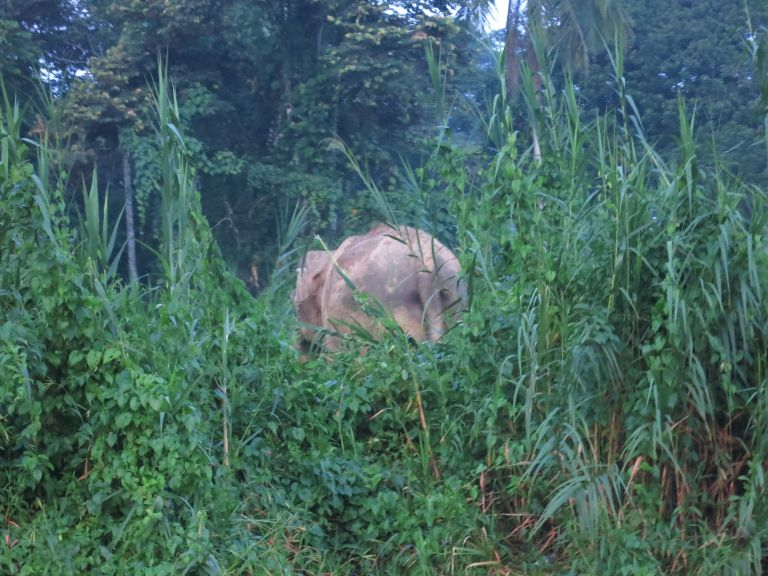 Our only view of a Bornean Pygmy Elephant