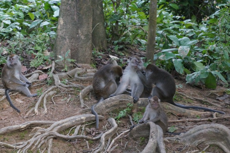 Bloody macaques hanging around near the accommodation!