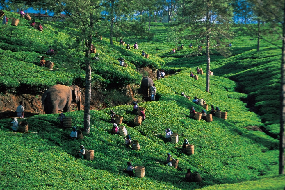 Tea being harvested in the Sri Lankan highlands