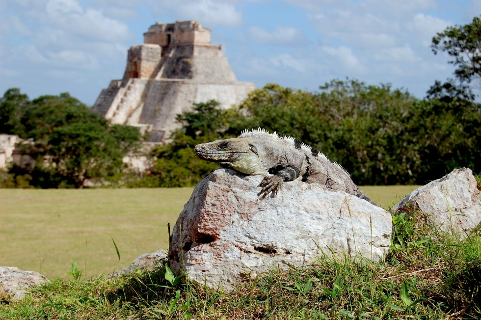 Iguana sunbathing at Uxmal