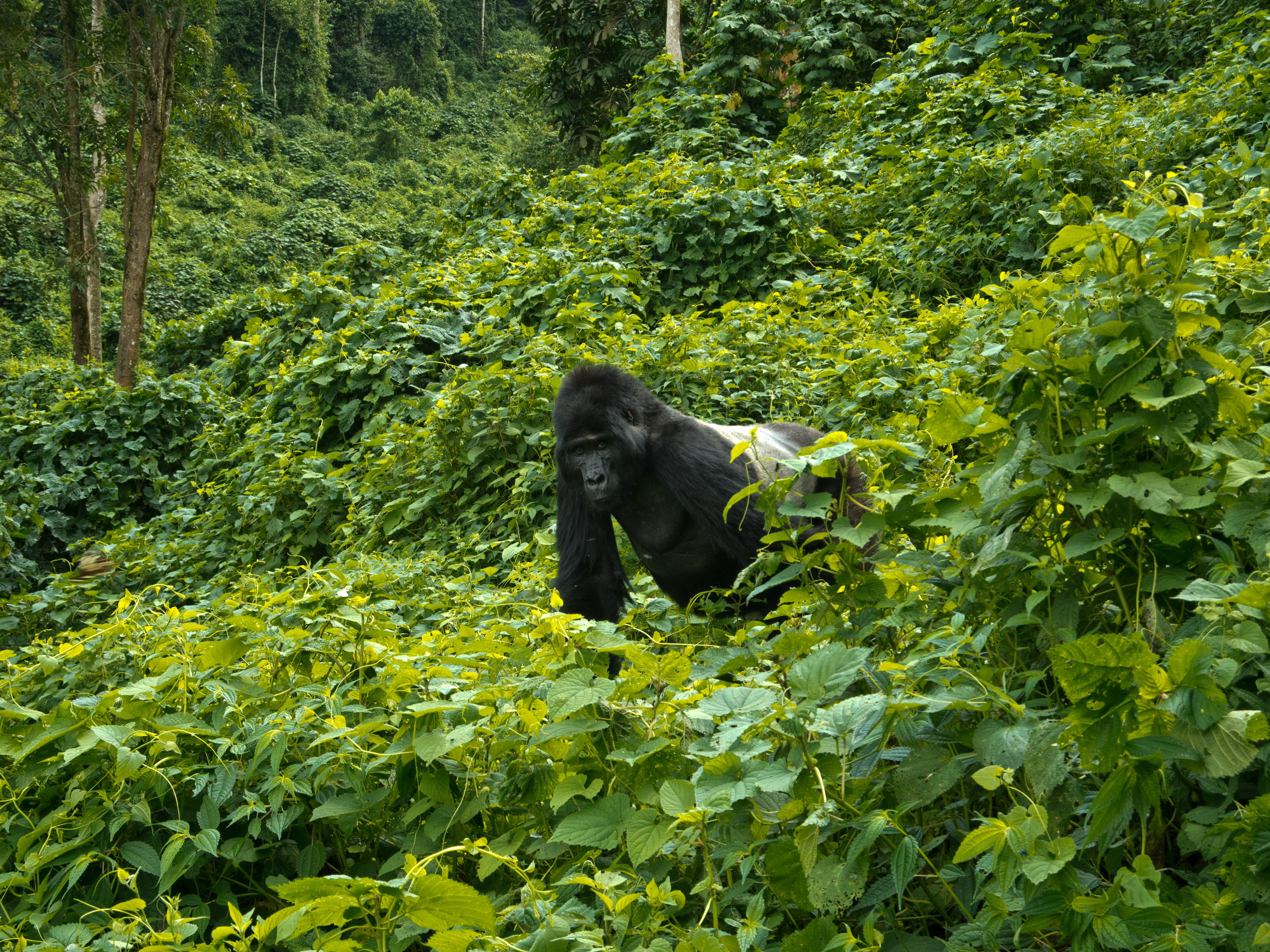 Gorillas in the Mist: My Bwindi Adventure